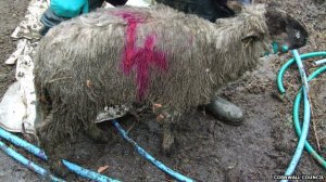 Bodmin Magistrates' Court heard Evans failed to prevent sheep becoming emaciated